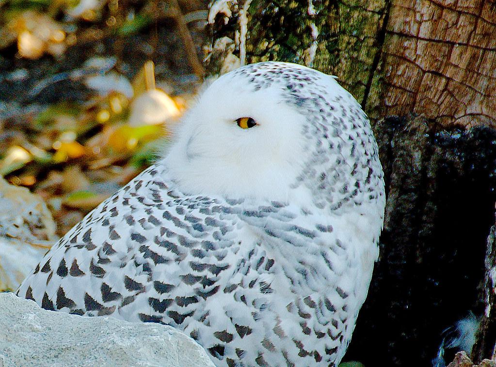 Snowy Owl (Bubo scandiacus)_4
