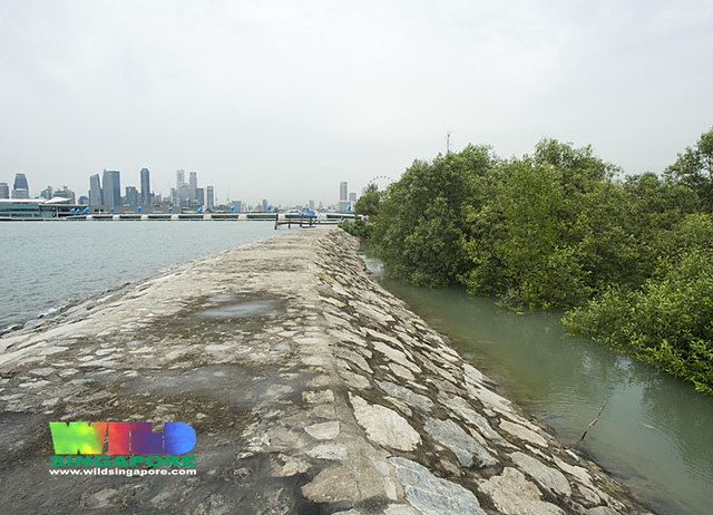 Mangroves growing next to Marina Barrage