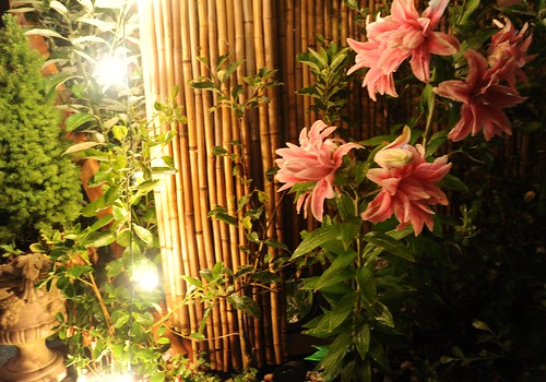 Faery lights are strong here in A Garden for the Buddha, trophy planter with Italian tree, little apple tree, bamboo fence, double pink lilies in full bloom, Seattle, Washington, USA by Wonderlane