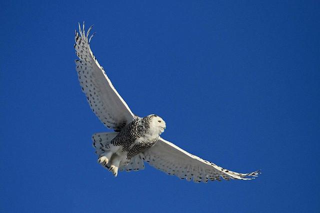 Snowy Owl at Hamden Slough NWR