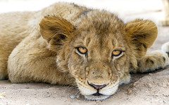 Lying cub looking at me