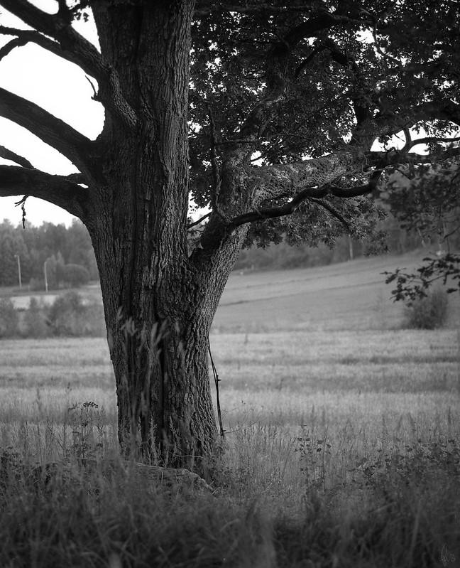 oak, july 2012