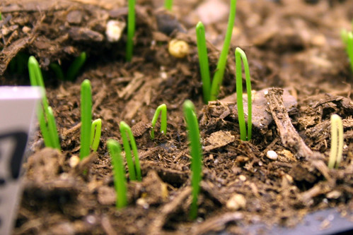 onion sprouts 157