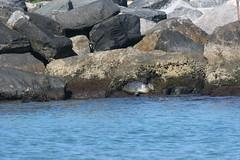 Harbor Seal Before Rescue 2
