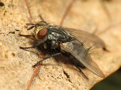 Tachinid fly on a dead leaf