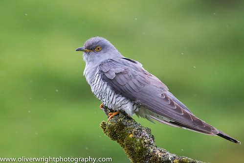 cuckoo british bird lovers