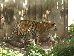 Tigers, 3