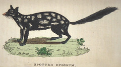 Spotted Opossum