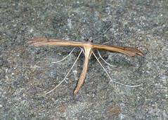 1509 Stenoptilia pterodactyla