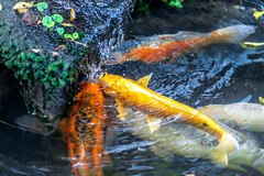 Few colorful Koi carp under waterfall catching and…