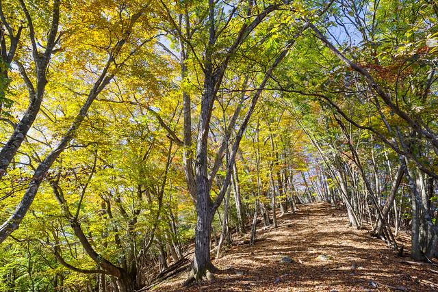 美しい広葉樹林@ウノタワ手前の稜線
