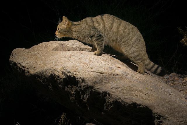 Gato montés III