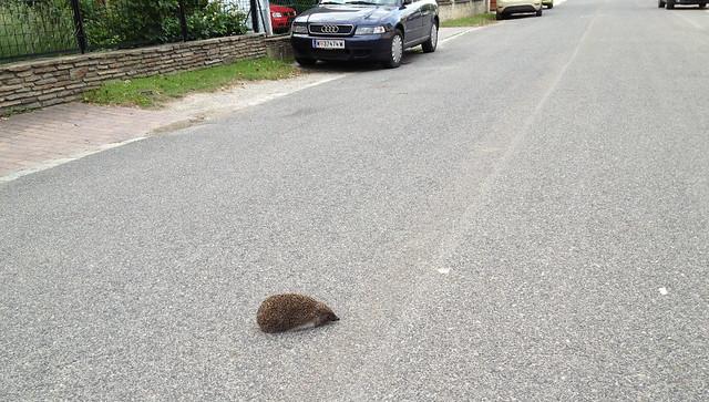 Igel auf der Straße