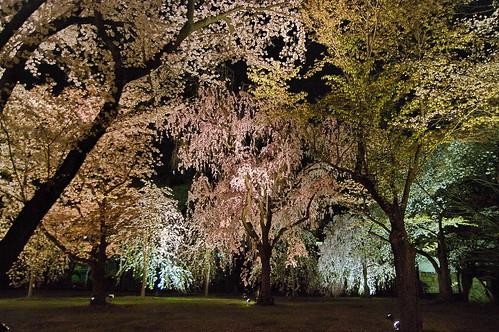【写真】桜 : 二条城