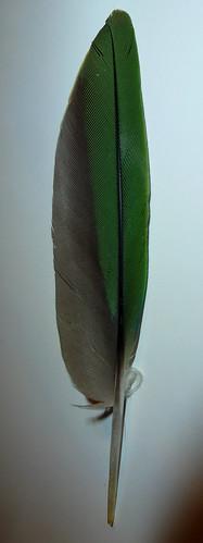 Parakeet Feather