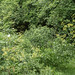 Small photo of Lovage