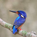 Another pose of Blue Eared Kingfisher (male)