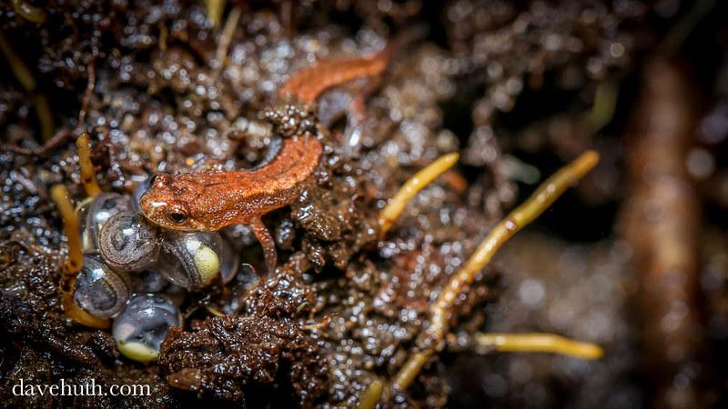 Seepage Salamander (Desmognathus aeneus) - female with eggs