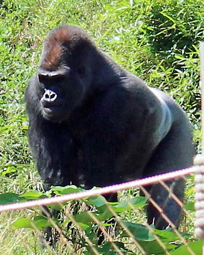 Zoo 4 - Gorilla