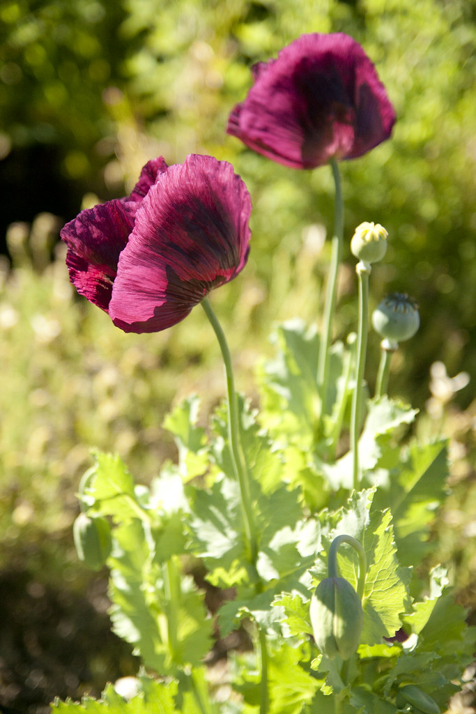 SFBG purple poppy