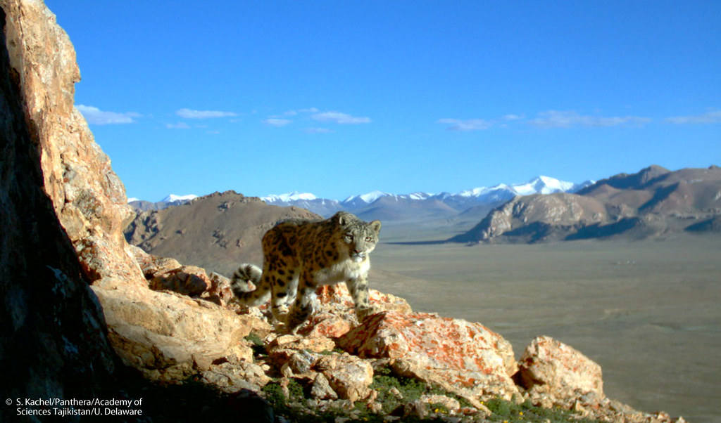 Camera trap photo of a wild snow leopard in Tajikistan