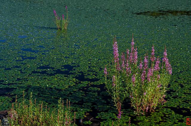 「水辺に咲く花」 岩見沢 - 北海道