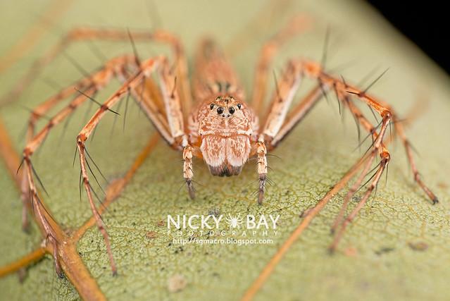Lynx Spider (Hamadruas sp.) - DSC_1978