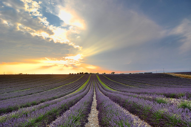The Lavender Field of Provence – France