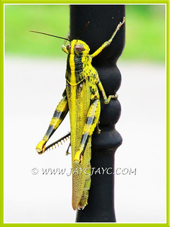 Yellow grasshopper with black blotches and dots (Belalang Kunyit in Malay)