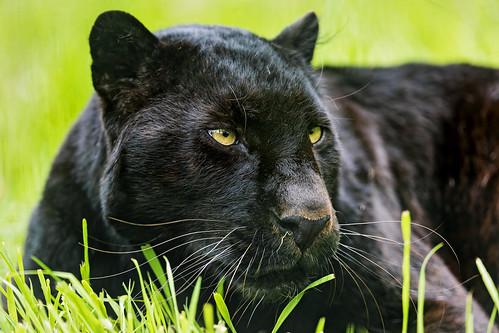 Khan in the grasses by Tambako the Jaguar