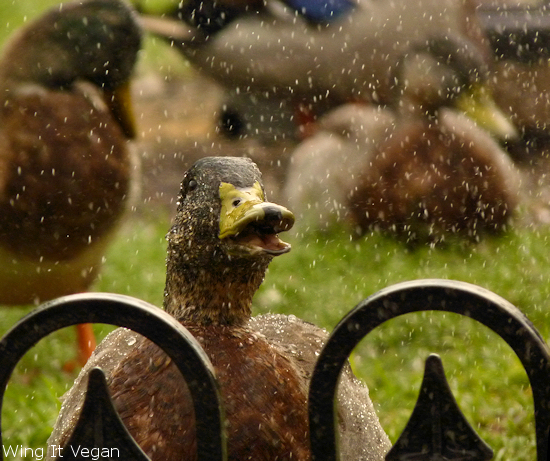 Raindrops keep falling on my duck