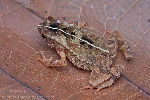 Gollum's Toad (Ingerophrynus gollum) IMG_0792 copy