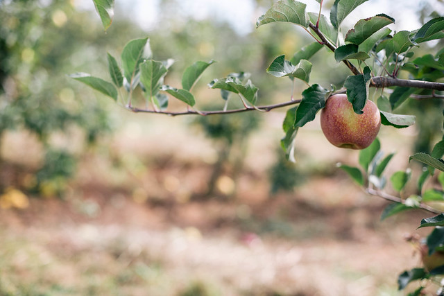 apple picking in GA + apple dumpling recipe