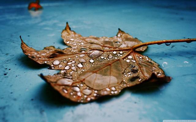 Beautiful Wet Maple Leaf Close Up Macro Wallpaper