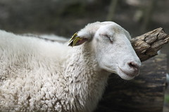 Sheep May Safely Grace