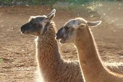 arabian camel(0.0), wildlife(0.0), alpaca(1.0), animal(1.0), zoo(1.0), mammal(1.0), llama(1.0), fauna(1.0), vicuã±a(1.0), guanaco(1.0), camel(1.0), safari(1.0),