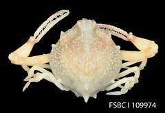 Spurfinger Purse Crab
