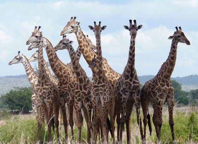 A school of Giraffe trying to fight for a place under a tree during midday heat in Mikumi National Park during game drive