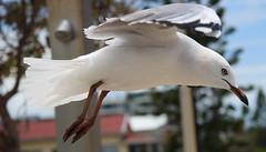 the gull (16)