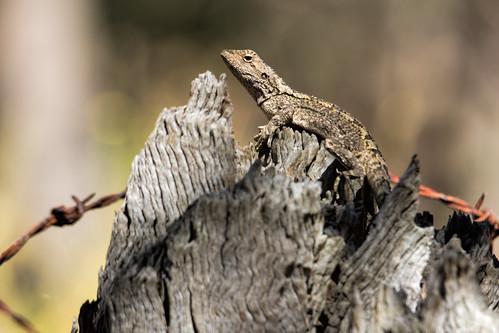 Lizard 2014-01-12 (_MG_3192)
