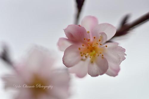 十月桜 Cerasus subhirtella 'Autumnalis'