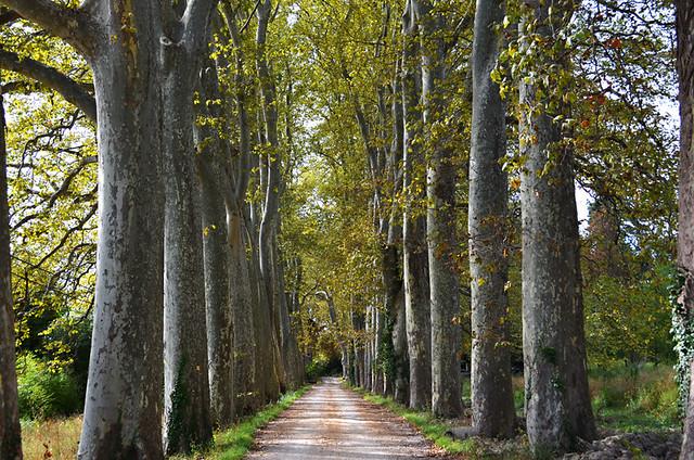 Plane trees, Rellainne, Provence