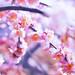 Japanese apricot by Emi Fujimoto