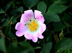 (Spotty), Wild rose.