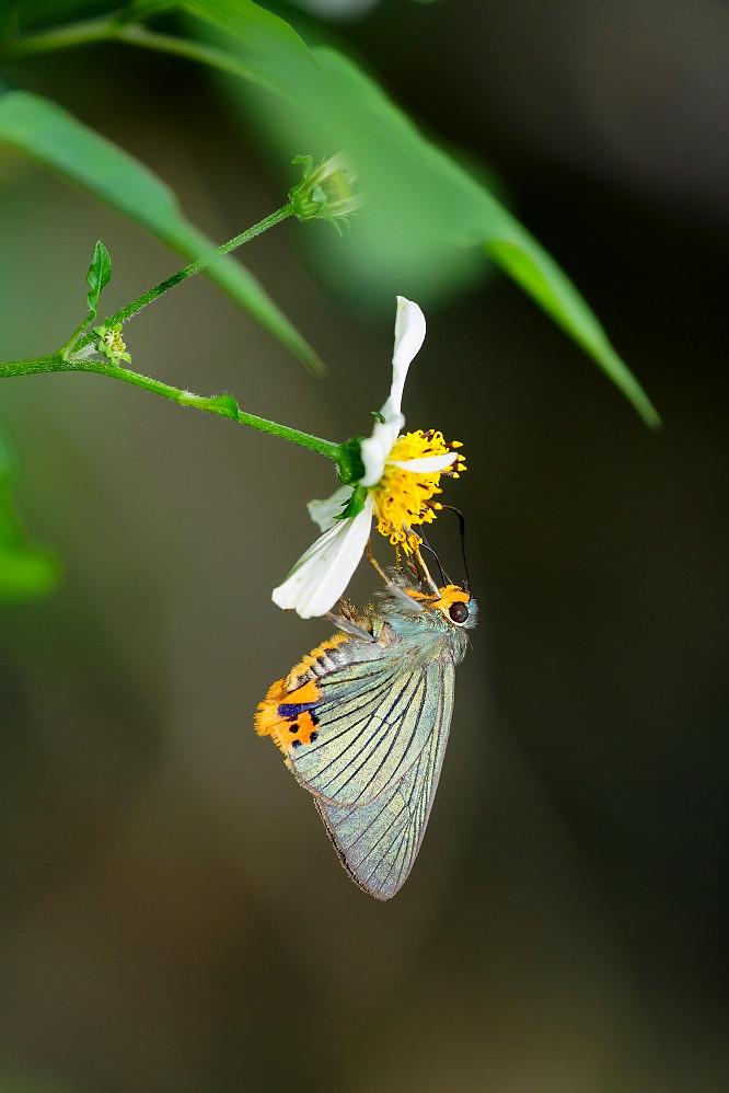 綠弄蝶屬綠弄蝶14S101