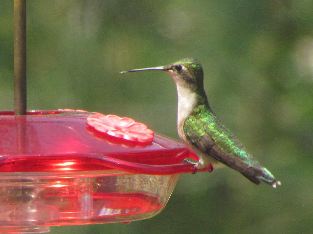 First female Hummingbird 5:12:14