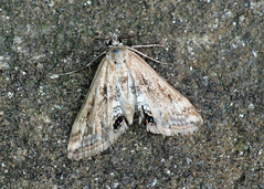 63.116 Small China-mark - Cataclysta lemnata