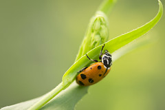 arthropod, animal, ladybird, invertebrate, insect, macro photography, green, fauna, close-up, leaf beetle, beetle,