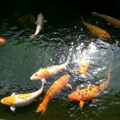 carp(1.0), fish(1.0), fish(1.0), fish pond(1.0), marine biology(1.0), koi(1.0), pond(1.0),