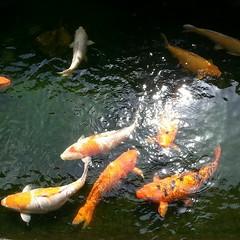 carp, fish, fish, fish pond, marine biology, koi, pond,